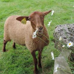 Caramel le mouton et ses amis